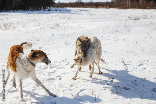 Fight of two hunting dogs of a dog and a gray wolf in a snowy field Slika na platnu
