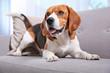 Beautiful beagle dog on sofa indoors. Adorable pet