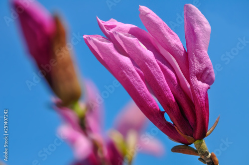 Garden Poster Lotus flower Pink magnolia in springtime. Blooming flower with soft focus in the garden. Blue sky. Nature floral wallpaper backdrop. Toned image is not in focus. Close-up.