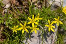 Gagea Villosa, Wild Flower. Endemic Plant. Izmir / Turkey