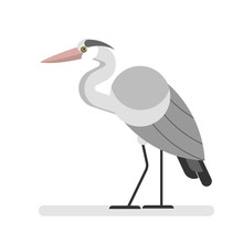 Heron Bird. Wild Egret With Long Beak