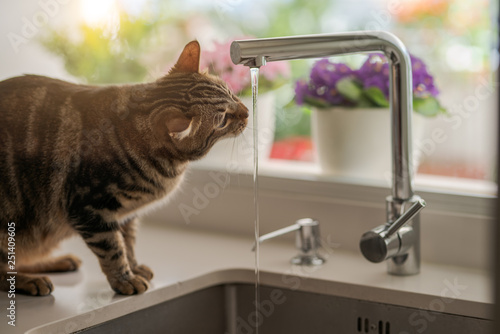 Fototapeta Beautiful short hair cat drinking water from the tap at the kitchen obraz na płótnie