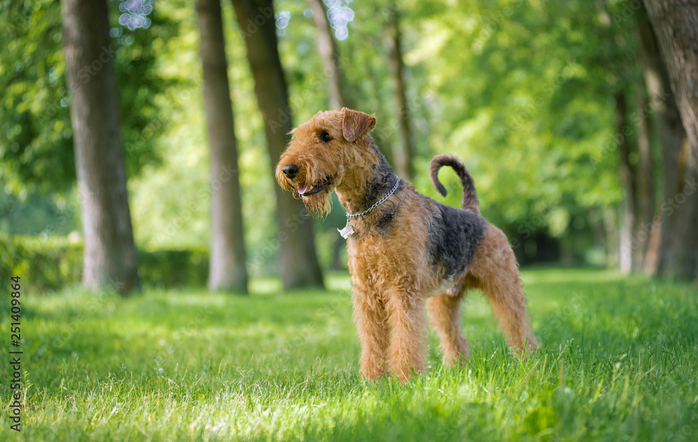 Fototapety, obrazy: Airedale Terrier stands in a rack on the grass in the alley of trees