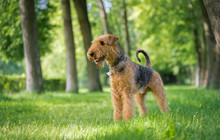 Airedale Terrier Stands In A R...