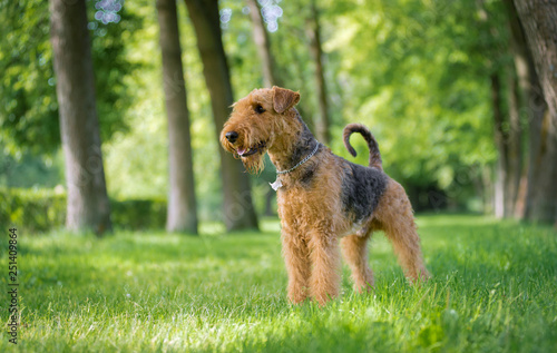 Photo Airedale Terrier stands in a rack on the grass in the alley of trees