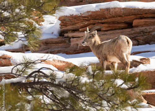 Fotografie, Obraz  A desert big horned sheep is framed by the branches of a pine tree as it stands on a snow covered red sandstone mountainside