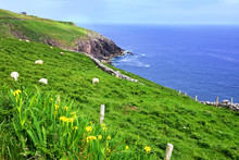 Daffodils And Sheep Grazing In...