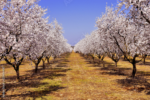 Tableau sur Toile plantation of almond trees plenty of white flowers in a spring day with a blue s