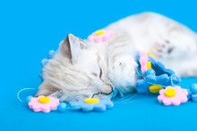 White Siamese Kitten Sleeping After Playing With Flower String Garland Decoration, Blue Blanket Background.