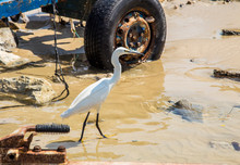 A Small White Little Egret Her...