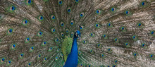 Peacock With Fanned Tail Feath...