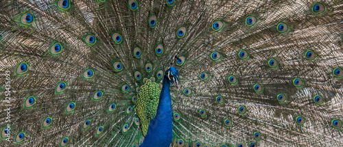 Peacock with fanned tail feathers