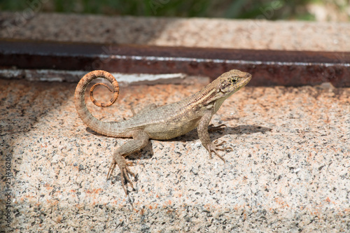 Photo  Curly tailed lizard