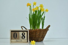 8 March Composition On White Background. March 8 Text On Wooden Block Calendar And One Flower Of Yellow Narcissus .basket Of Daffodils In The Background