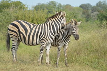 Beautiful African Burchell's Zebra In An African Game Reserve During Safari
