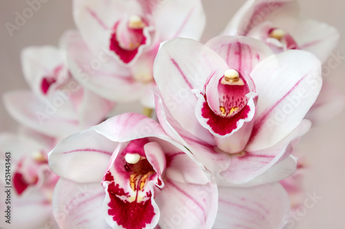 Foto auf Leinwand Orchideen pale pink cymbidium orchid flowers