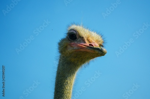 Staande foto Struisvogel Close up of Ostrich Head with blue sky background