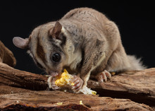 Sugar Glider Eating Corn With ...