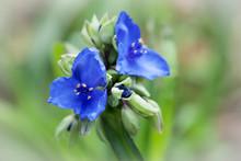 Blue Spiderwort Flowers