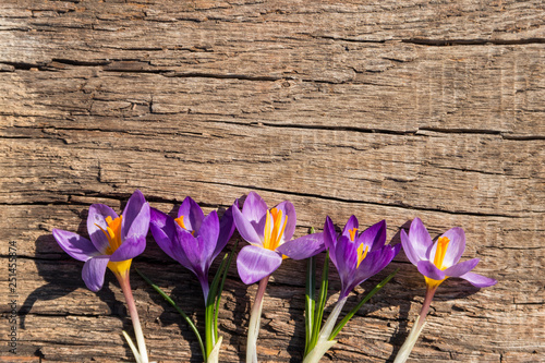 Poster Iris Purple crocus flowers on rustic wooden background