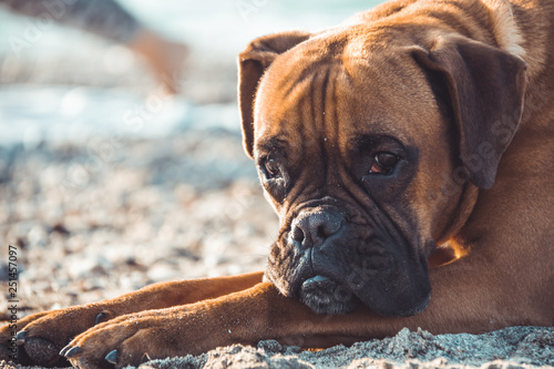 Boxer dog on the beach. Face expression and poses. Copy space Canvas Print
