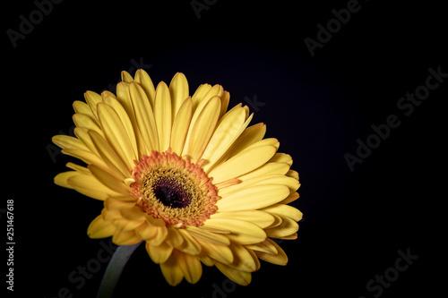 Single Yellow Gerbera