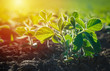 Leinwandbild Motiv Concept of earth day. Glycine max, soybean, soya bean sprout growing soybeans on an industrial scale. Products for vegetarians. Agricultural soy plantation on sunny day.