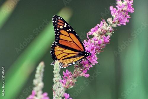 Wings on Monarch Butterfly resting on purple wildflowers