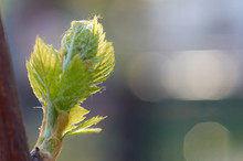 Sprout Of Vitis Vinifera, Grape Vine. New Leaves Sprouting At The Beginning Of Spring