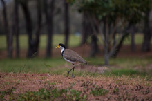 The Masked Lapwing Plover Bird Australia Gold Coast Single Bird In The Grass