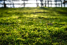 Grass And Moss With Dewdrops I...