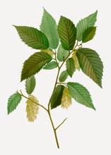 American Hophornbeam Branch