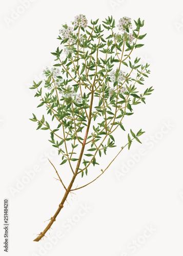 Fototapeta Garden thyme herb obraz