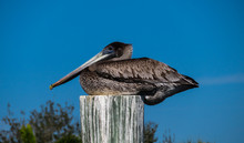 Brown Pelican Sitting On A Woo...