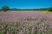 Rocky Mountain Purple Beeplant...