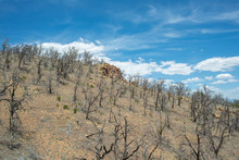 Post Fire Pinyon Juniper Community In Nevada Great Basin Desert