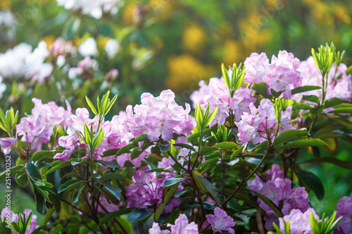 Colorful violet azalea flowers in garden. Blooming bushes of bright azalea at spring sunlight. Nature, spring flowers background