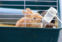 Rabbits Drinking Water From Feeding Water Bottle.The Bunnies Inside Cage For Small Pets.