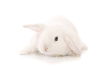 A White Lop Eared Bunny Isolat...