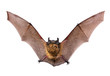 A close up of the little brown bat. Isolated on white.