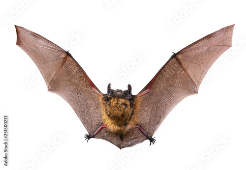 Fotografiet  A close up of the little brown bat. Isolated on white.