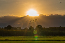 Flock Of Birds Flying During Sunset On The Rice Fields