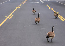 Adult Canadian Goose Flock Blocking Busy Road Traffic By Walking On Street Center Turn Lane. Urban Wildlife Meander On Street And Slow Down Vehicles And Commuters