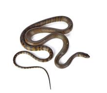 Snake Isolated On White Backgr...