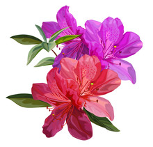 Azalea Flower Vector Illustrat...