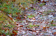 Trznadel zwyczajny (Emberiza citrinella) w szacie godowej na przedwiośniu