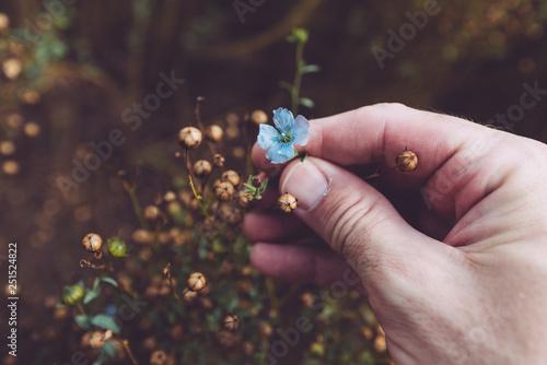 Obraz Farmer examining flax plant - fototapety do salonu