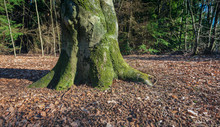 Trunk And Roots Of An Old Beech Tree In A Forest. The Soil Is Strewn With Fallen Leaves And Cupules Of Beech Nuts. The Photo Was Taken In The Mastbos In The Dutch City Of Breda.