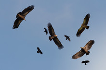 Four Huge Vulture In Flight,lo...