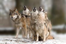 Wölfe Heulen